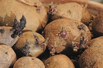 Kartoffeln pflanzen Vorkeimen