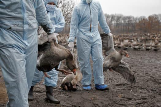 Vogelgrippe Geflügelpest Österreich, Symptome Stallpflicht Fälle 2020 2021 Steiermark Niederösterreich Wien