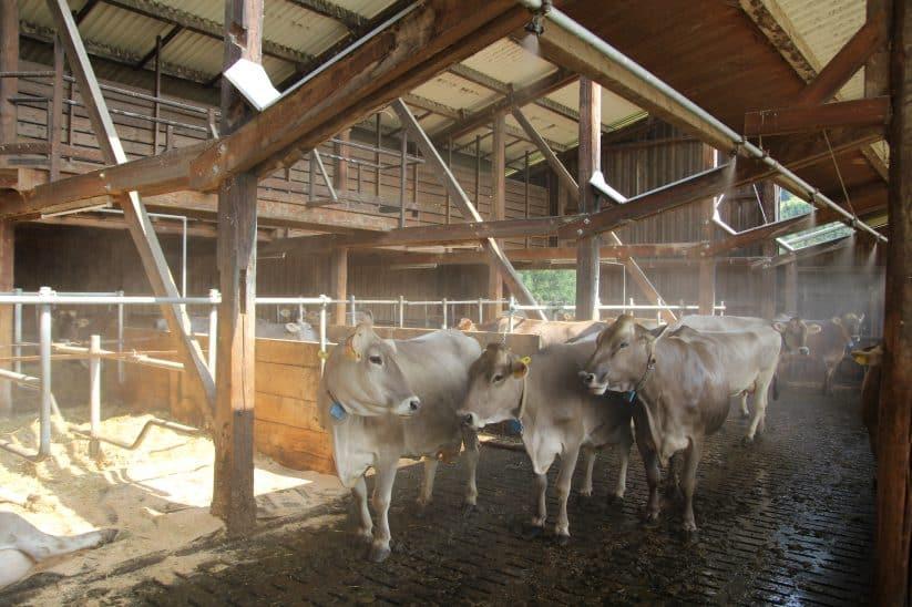 Kühe Hitze Wasser