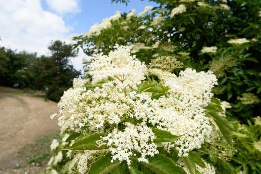 Holunder sammeln Blüten Hollersirup machen
