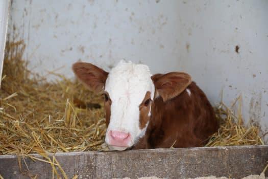 In den ersten drei Lebensmonaten können Kälber im Stall untergebracht werden.