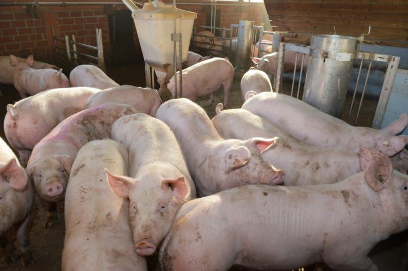 Britische Bauern keulen Tiere Schweine Mastschweine